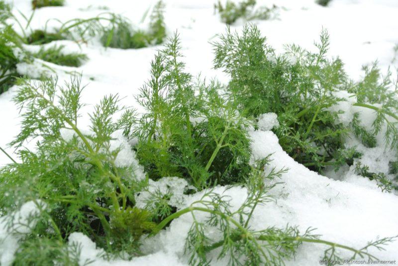укроп под снегом зеленый